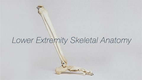 Joints in Lower Extremities and The Skeletal System