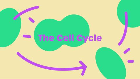 Cell Cycle Checkpoints